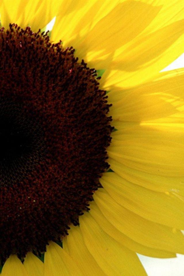 A sunflower in bright sunshine